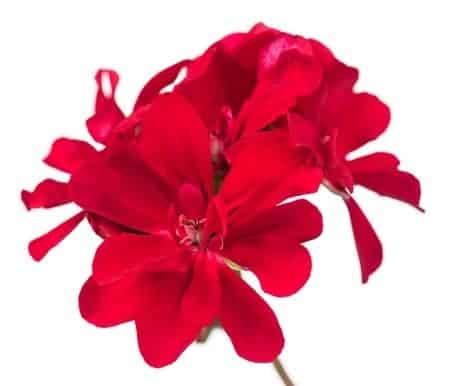 rose-geranium