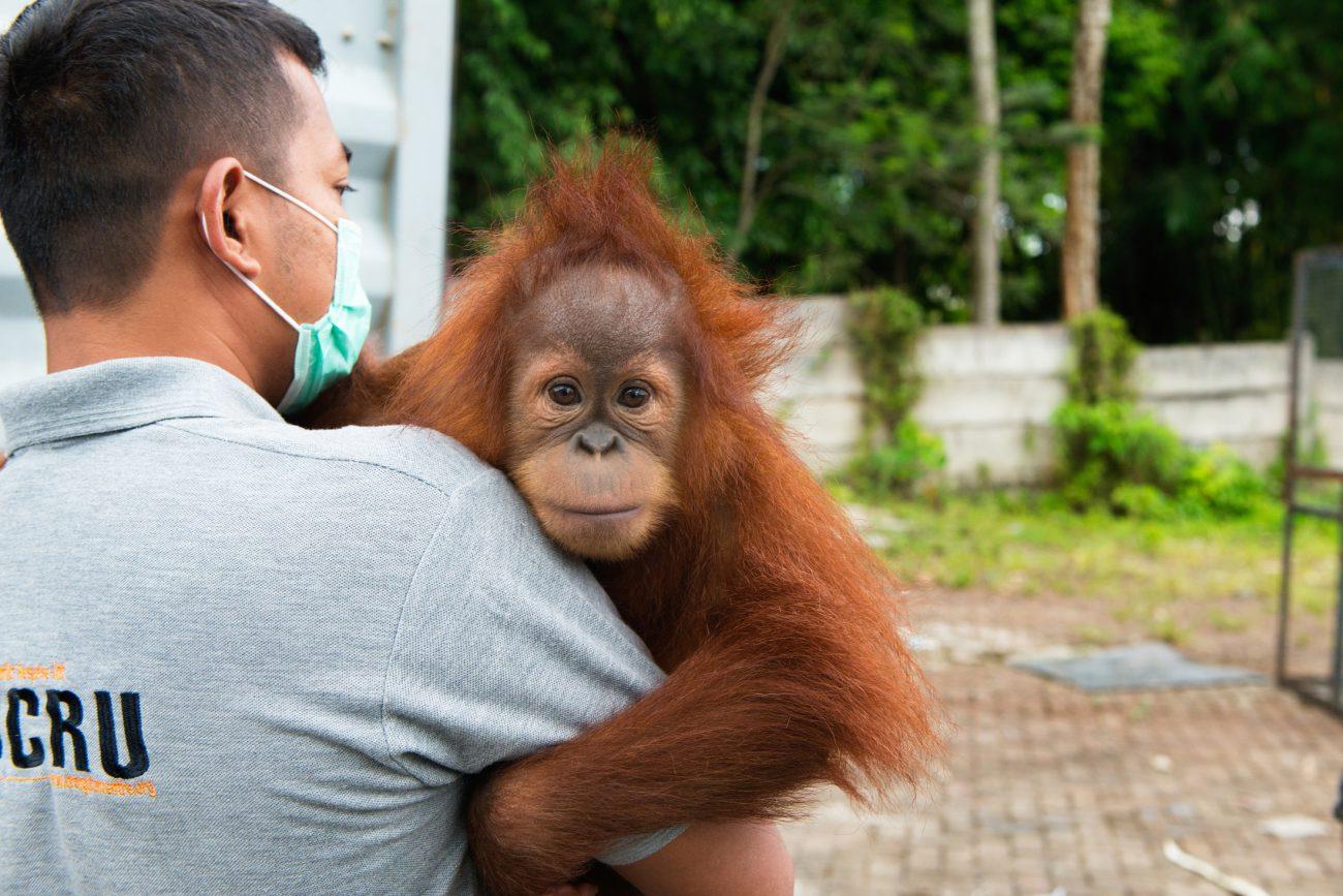 Sustainable Palm Oil – Talking to the Sumatran Orangutan Society